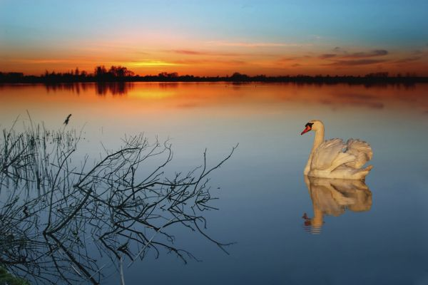 【Canvas Print】PHOTOWALL / Swan on a lake (e1590)