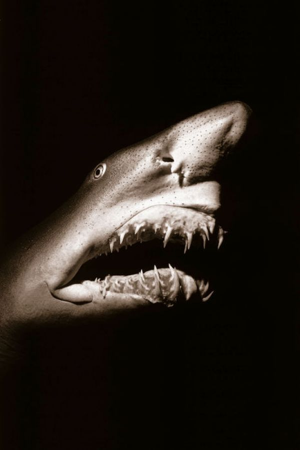 【Canvas Print】PHOTOWALL / Shark - Sepia (e6340)