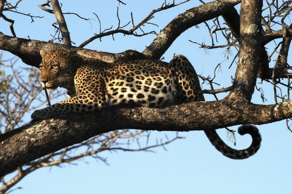 【Canvas Print】PHOTOWALL / Leopard in Tree (e10004)