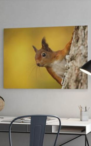 【Canvas Print】PHOTOWALL / Red Squirrel with Autumn Colors (e320142)