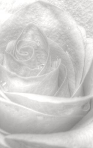 PHOTOWALL / High Key Rose - b/w (e1586)