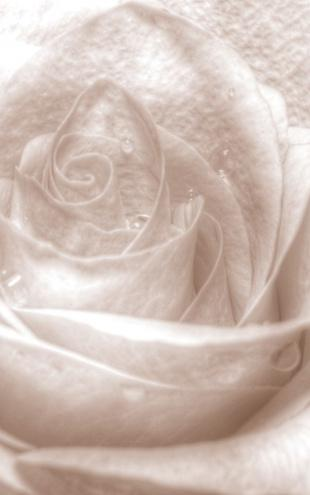 PHOTOWALL / High Key Rose - Sepia (e1587)