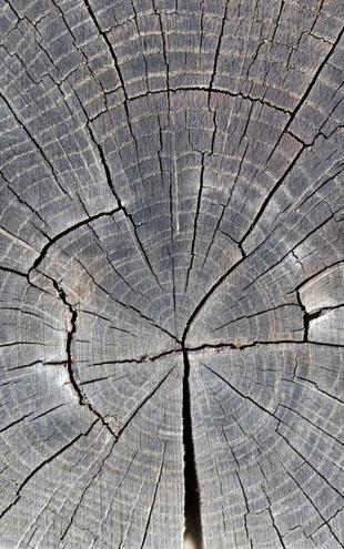 PHOTOWALL / Tree Trunk Showing Growth Rings (e19113)