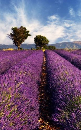 PHOTOWALL / Lavender Field in Provence (e19149)
