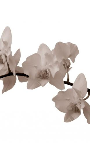 PHOTOWALL / White Orchid Stem - Sepia (e1955)