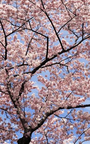 PHOTOWALL / Blooming Cherry Tree (e6249)
