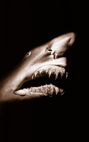 PHOTOWALL / Shark - Sepia (e6340)
