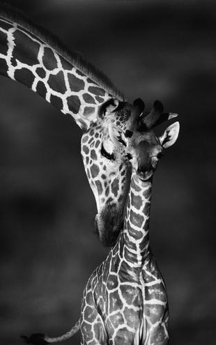 PHOTOWALL / Giraffes - b/w (e6346)