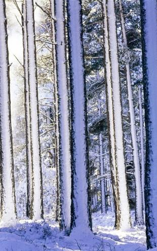 PHOTOWALL / Winter Forest (e6348)