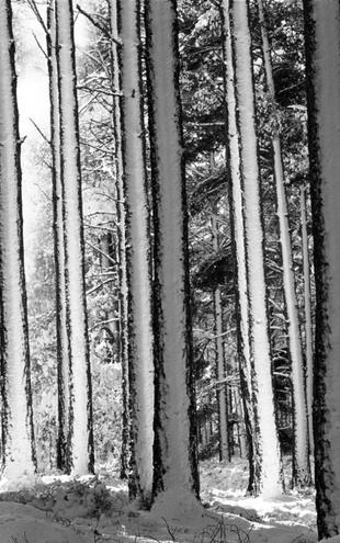 PHOTOWALL / Winter Forest - b/w (e6349)