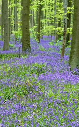 PHOTOWALL / Bluebells Wood (e6352)
