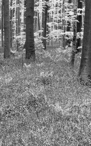 PHOTOWALL / Bluebells Wood - b/w (e6353)