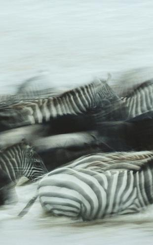 PHOTOWALL / Zebras Running (e6371)