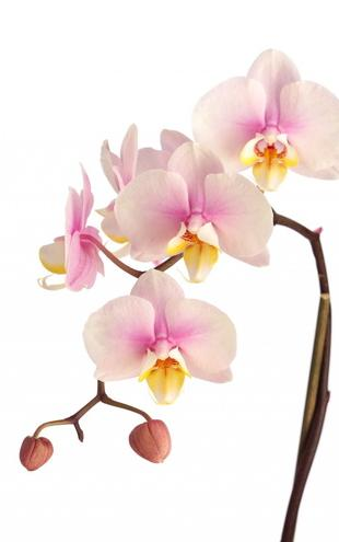 PHOTOWALL / Pink Orchid Stem (e9007)