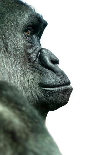 PHOTOWALL / Gorilla (e9008)