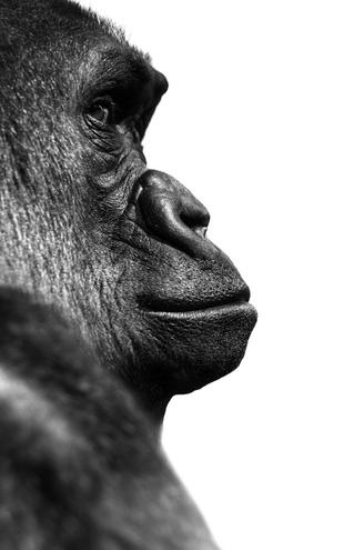 PHOTOWALL / Gorilla - b/w (e9034)