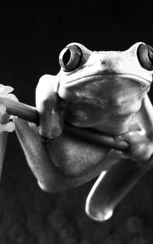 PHOTOWALL / Red frog - b/w (e9035)