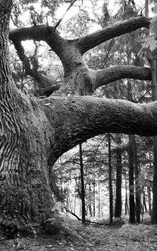 PHOTOWALL / Mighty Oak - b/w (e9043)