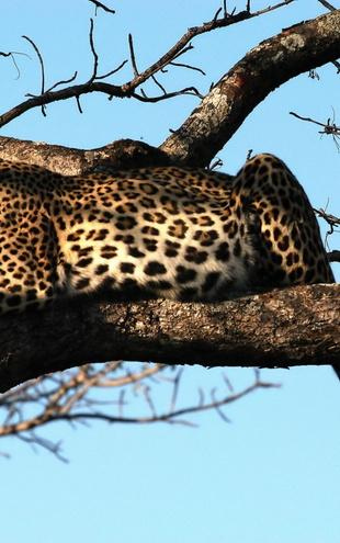 PHOTOWALL / Leopard in Tree (e10004)