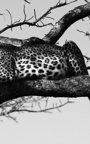 PHOTOWALL / Leopard in Tree - b/w (e10005)