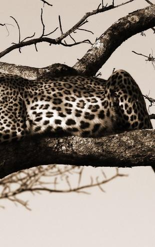 PHOTOWALL / Leopard in Tree - Sepia (e10006)