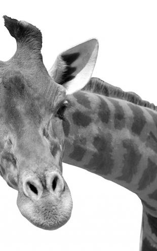 PHOTOWALL / Giraffe - b/w (e10076)