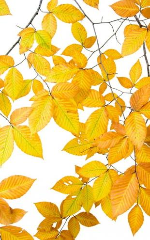 PHOTOWALL / Yellow Leaves on White Background (e10101)