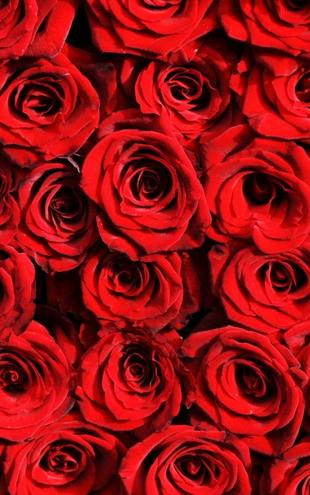 PHOTOWALL / Red roses (e10118)