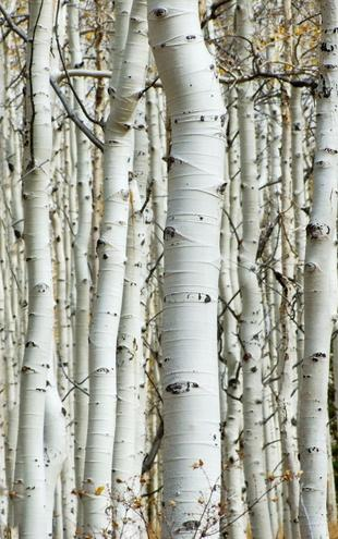 PHOTOWALL / Aspen Forest (e1386)