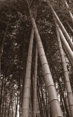 PHOTOWALL / Bamboo Forest - Sepia (e1434)