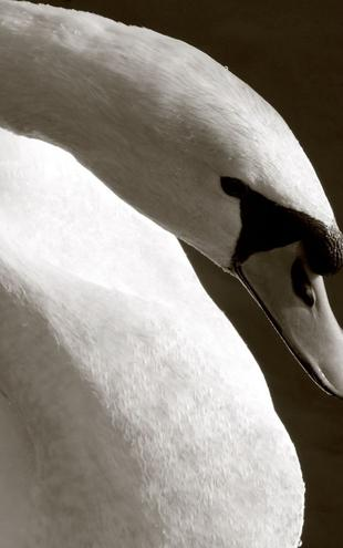 PHOTOWALL / Swan (e1458)