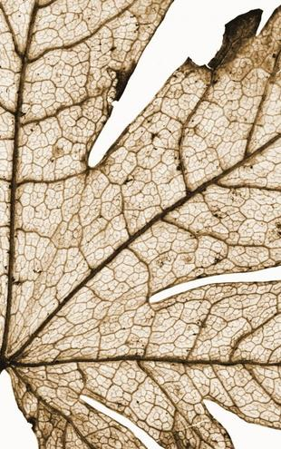 PHOTOWALL / Leaf Detail - Sepia (e1473)