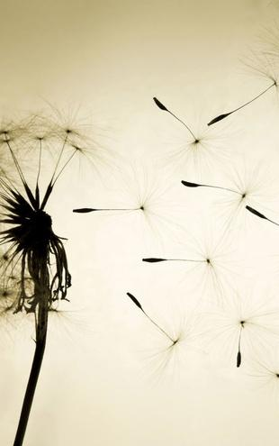 PHOTOWALL / Dandelion (e1480)