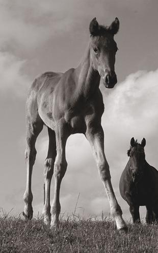 PHOTOWALL / Young Foal - Sepia (e1503)