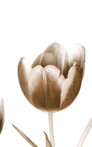 PHOTOWALL / Tulips - Sepia (e1505)