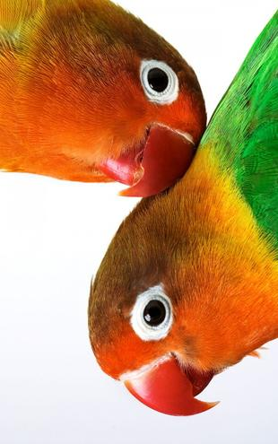 PHOTOWALL / Pair of Lovebirds (e1576)