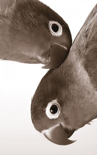 PHOTOWALL / Pair of Lovebirds - Sepia (e1577)