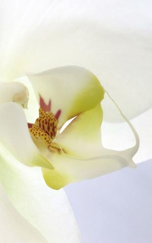 PHOTOWALL / White Orchid (e1646)
