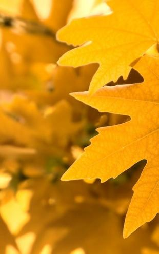 PHOTOWALL / Yellow Leaves (e1835)