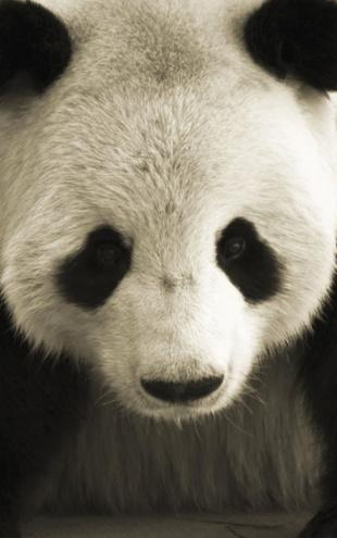 PHOTOWALL / Giant Panda (e1893)