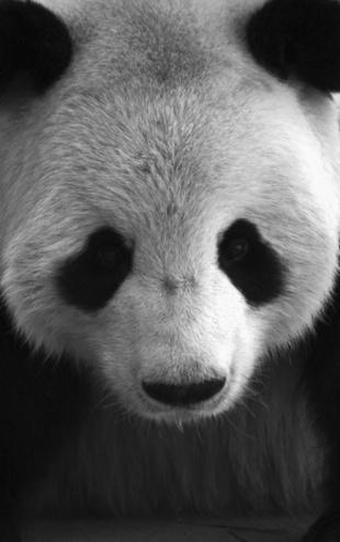 PHOTOWALL / Giant Panda - b/w (e1894)