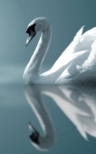 PHOTOWALL / Swan Reflection (e1905)