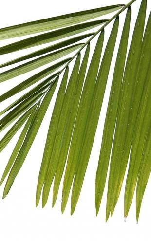 PHOTOWALL / Palm Leaves (e1940)