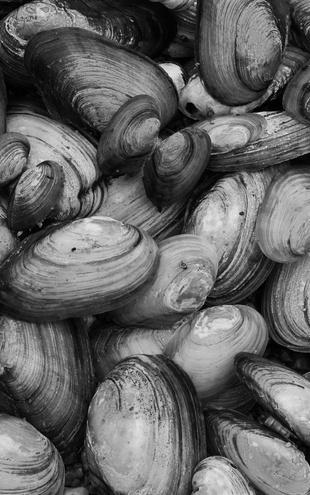 PHOTOWALL / Mussel Shell - b/w (e19424)