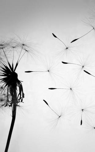 PHOTOWALL / Dandelion - Black White (e20742)
