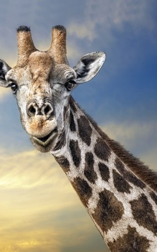 PHOTOWALL / Friendly Giraffe (e22525)