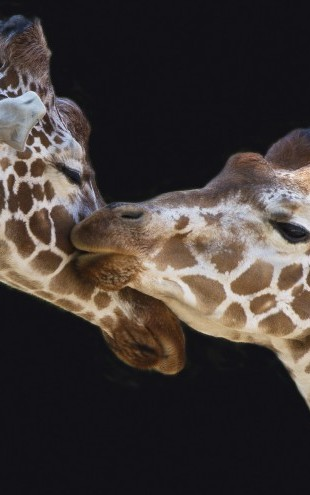 PHOTOWALL / Giraffes Kissing (e22552)