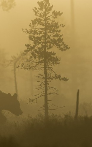 PHOTOWALL / Bear in Morning Fog (e22557)