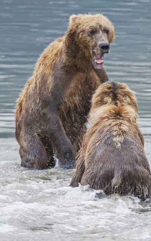 PHOTOWALL / Two Bears in the Lake (e22998)
