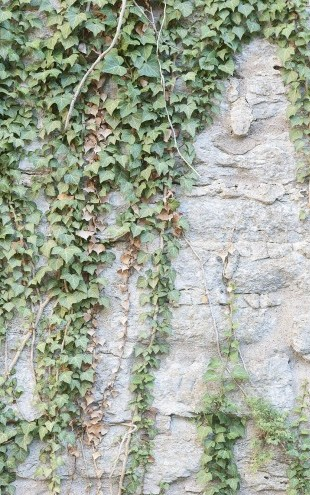 PHOTOWALL / Ivy Wall (e23095)